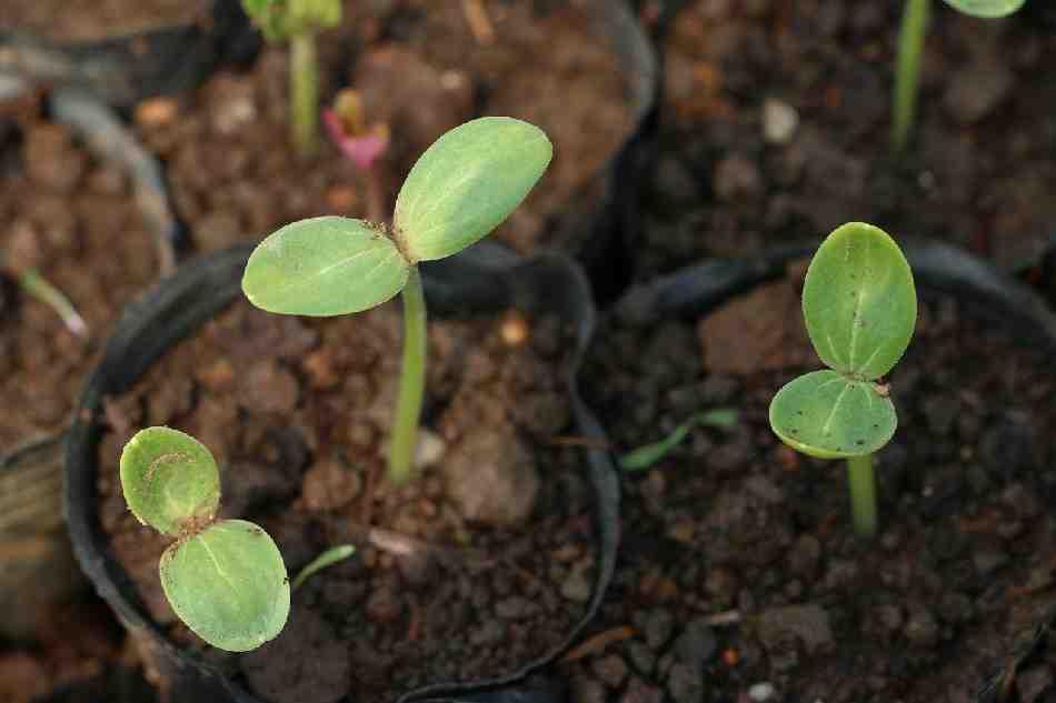 Comment faire pousser noyau de litchi ?